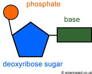 (http://malouffbioblog.files.wordpress.com/2012/04/nucleotide.jpg)