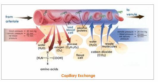 (http://johnnydissidence.files.wordpress.com/2012/04/capillary-exchange-lymphatic-system.jpeg)