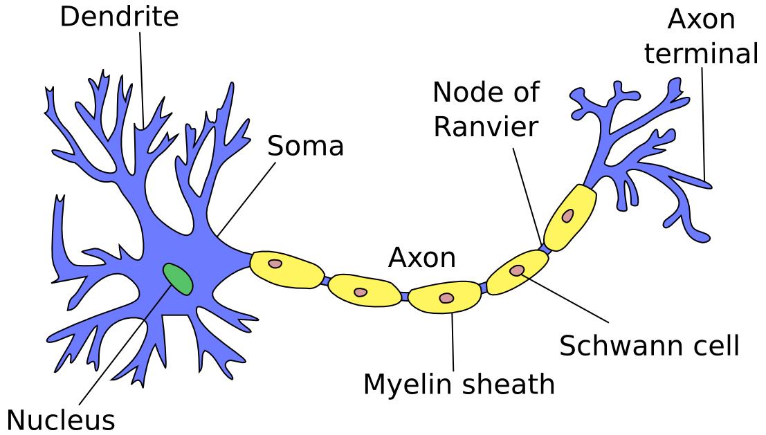 (http://www.marekrei.com/blog/wp-content/uploads/2014/01/neuron.png)