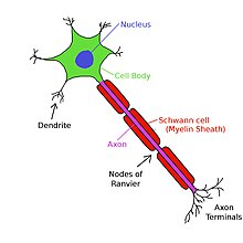 (http://upload.wikimedia.org/wikipedia/commons/thumb/d/d3/Neuron1.jpg/220px-Neuron1.jpg)