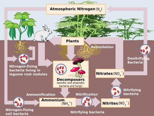 (http://www.ducksters.com/science/ecosystems/nitrogen_cycle.jpg)