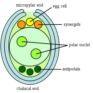 (http://upload.wikimedia.org/wikipedia/commons/thumb/2/2d/Embryosac-en.svg/300px-Embryosac-en.svg.png)