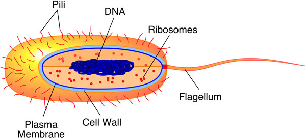 (http://www.biologycorner.com/resources/bacteria7.jpg)