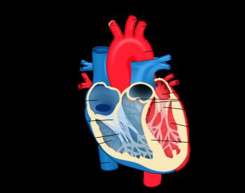 (http://upload.wikimedia.org/wikipedia/commons/thumb/e/e0/Heart_diagram-en.svg/350px-Heart_diagram-en.svg.png)