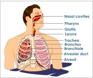 (http://4.bp.blogspot.com/-UImk-wNyQRk/TsloKiJOd_I/AAAAAAAAAIg/-J1TpCuPZSw/s400/human-respiratory-system.jpeg)
