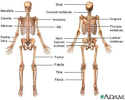(http://cheshireanthropology.files.wordpress.com/2013/01/skeletonimage_na.jpg)