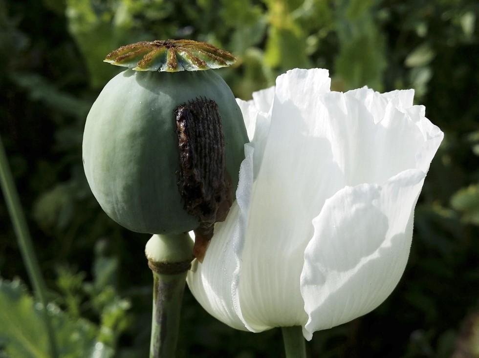 (http://www.scmp.com/sites/default/files/styles/980w/public/2013/12/18/myanmar_opium_bk101_39912647.jpg?itok=Ywhbrudc)