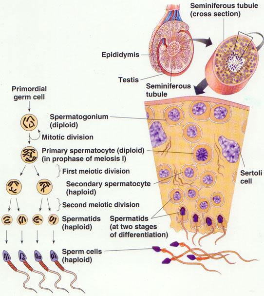 (http://3.bp.blogspot.com/-oPiceClYDG8/T3Ku7oG2zAI/AAAAAAAAB0Y/0WtRfK9Qr5Q/s1600/Spermatogenesis.jpeg)