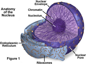 (http://4.bp.blogspot.com/_F_sB-JFHT2Q/TTYTNmzAN0I/AAAAAAAAA20/IFpF8shyjDM/s1600/nucleusfigure1.jpg)