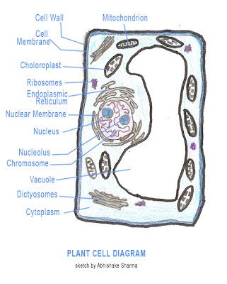 (http://1.bp.blogspot.com/_hen4qWJMVVY/TMhYOz9Fk5I/AAAAAAAAAKY/TXEZ2xexUoI/s400/plant-cell-structure-diagram.jpg)