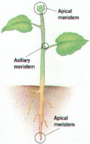 (http://www.biologyjunction.com/images/meristems.jpg)