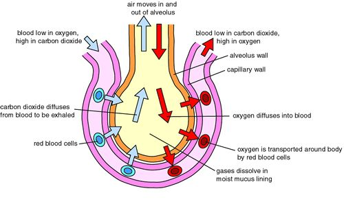 Gases gas exchange in the lungs gas exchange and transport exchange of gases in human ccuart Choice Image