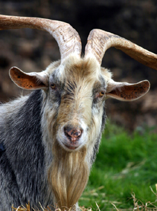 Animalia- goat (http://www.bbc.co.uk/schools/gcsebitesize/science/images/goat.jpg)