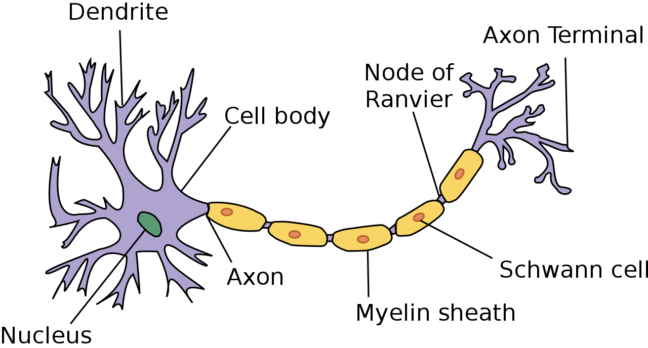 (http://upload.wikimedia.org/wikipedia/commons/thumb/b/b5/Neuron.svg/1280px-Neuron.svg.png)