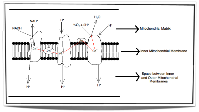 (http://ibguides.com/images/8.1.5_electron_transport_chain.png)