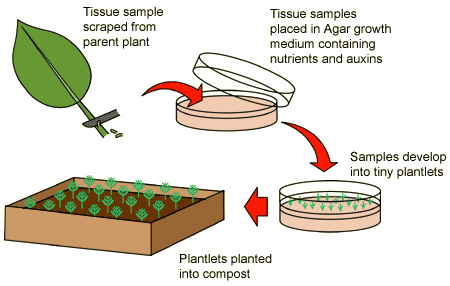(http://www.bbc.co.uk/schools/gcsebitesize/science/images/biplantcloning.jpg)