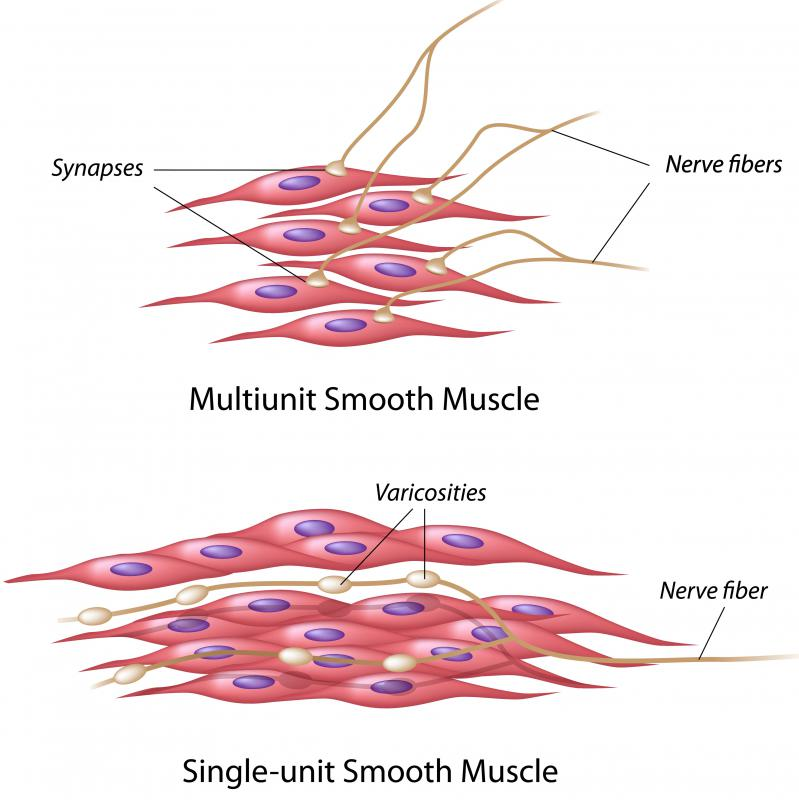 (http://images.wisegeek.com/smooth-muscle.jpg)