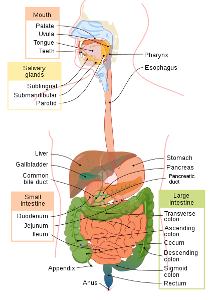(http://upload.wikimedia.org/wikipedia/commons/thumb/c/c5/Digestive_system_diagram_en.svg/423px-Digestive_system_diagram_en.svg.png)