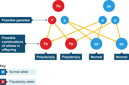 Polydactyly allele chart (http://www.bbc.co.uk/schools/gcsebitesize/science/images/add_aqa_bio_polydactyly.jpg)