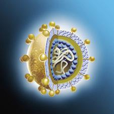 spherical shaped virus showing a cross-section through the core (http://www.bbc.co.uk/schools/gcsebitesize/science/images/spl_hepatitis_c_virus.jpg)