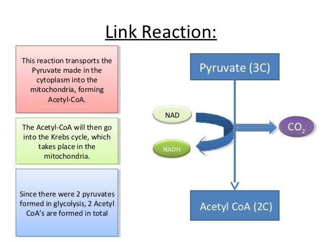 (http://image.slidesharecdn.com/oxidativephosphorylation3-121021161920-phpapp02/95/oxidative-phosphorylation-4-638.jpg?cb=1350836440)