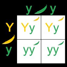 (http://upload.wikimedia.org/wikipedia/commons/thumb/2/22/Punnett_Square.svg/220px-Punnett_Square.svg.png)
