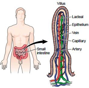 (http://encyclopedia.lubopitko-bg.com/images/A%20villus%20of%20the%20small%20intestine.jpg)