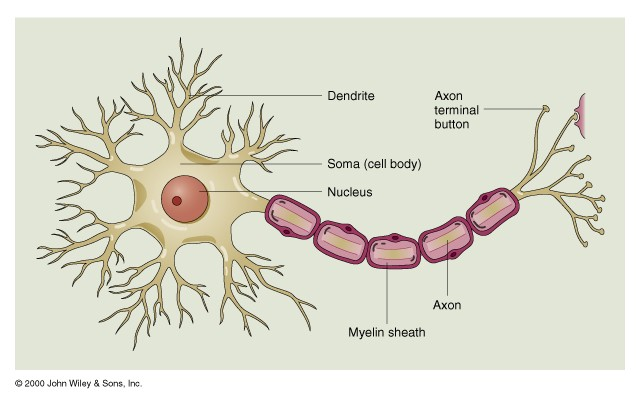 (http://1.bp.blogspot.com/_smxZWUrrrlo/S8ioTXpNmpI/AAAAAAAAAAw/aoyzmzB_r-Y/s1600/neuron.JPG)