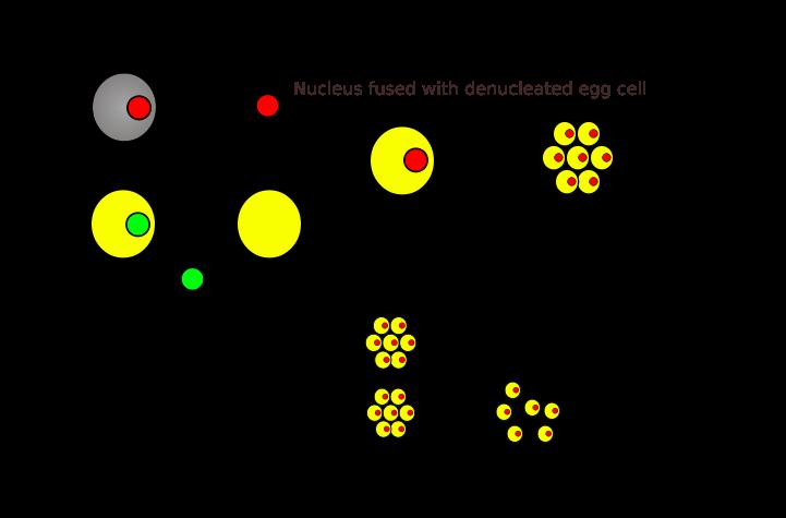 (http://1.bp.blogspot.com/-1fv0kiBaI64/TZfCFClHGtI/AAAAAAAAABY/Z7dV6OL12bE/s1600/721px-Cloning_diagram_english.svg.png)