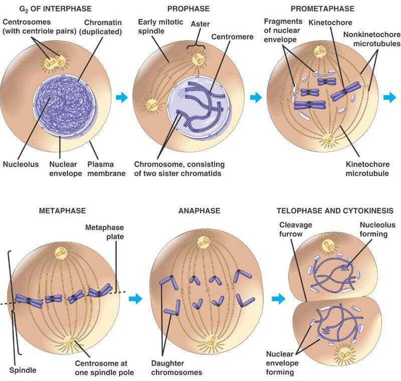 (http://1.bp.blogspot.com/-REgs3iXZ_j4/TWLAA46VLWI/AAAAAAAAGi0/P9UQb7-0P64/s1600/mitosis_phases1.jpg)