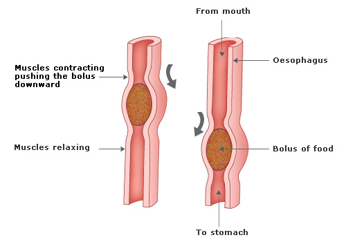 (http://www.passmyexams.co.uk/GCSE/biology/images/swallowing.jpg)