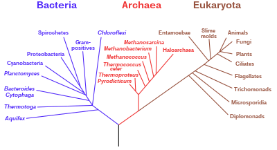 (http://upload.wikimedia.org/wikipedia/commons/thumb/7/70/Phylogenetic_tree.svg/400px-Phylogenetic_tree.svg.png)