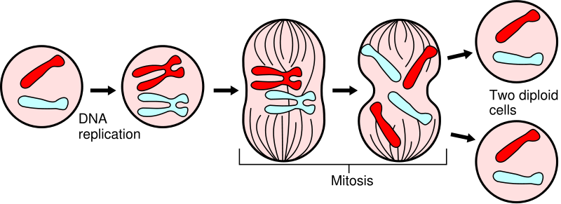 (http://alejandramendoza.files.wordpress.com/2011/05/mitosis1.png)