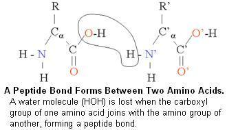 (http://www.moleculardetective.org/TutorialProteomics/PeptideBond02.JPG)