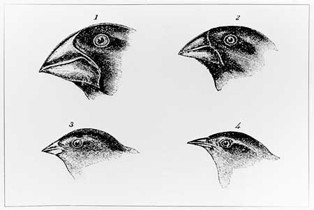 Darwin's drawings of the different heads and beaks he found among the finches on the Galapagos Islands (http://www.bbc.co.uk/schools/gcsebitesize/science/images/bifinches.jpg)