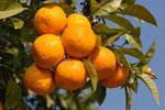 Oranges (http://www.bbc.co.uk/schools/gcsebitesize/pe/images/vitamins.jpg)