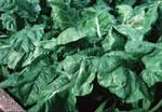Spinach (http://www.bbc.co.uk/schools/gcsebitesize/pe/images/minerals.jpg)