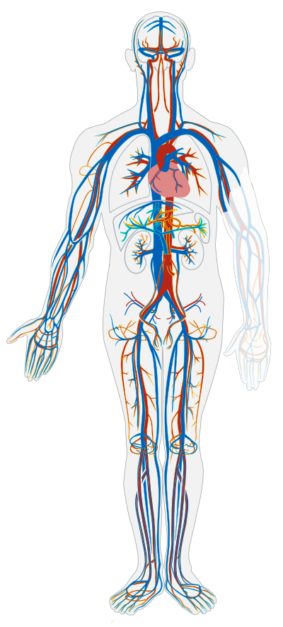 (http://upload.wikimedia.org/wikipedia/commons/thumb/1/19/Circulatory_System_no_tags.svg/400px-Circulatory_System_no_tags.svg.png)