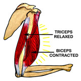 Triceps and Biceps (http://cache2.allpostersimages.com/p/MED/30/3040/U7PBF00Z/posters/biceps-contracted-triceps-relaxed.jpg)