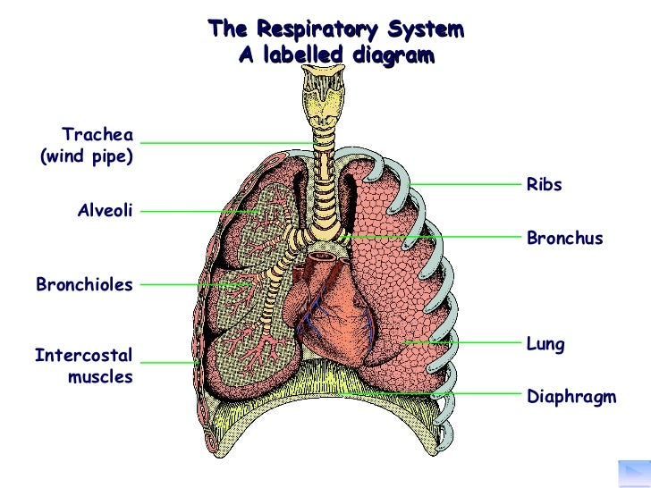 (http://image.slidesharecdn.com/p6describethestructureandfunctionoftherespiratorysystem-120122145924-phpapp02/95/the-structure-and-function-of-the-respiratory-system-2-728.jpg?cb=1327244449)