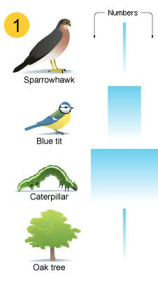 Shows a narrow bar representing few sparrowhawks. A slightly wider bar represents a bigger number of sparrows, and catapillars are represented by the widest bar, showing they have the highest number. At the bottom of the food chain is an oak tree, and as one oak tree can feed many caterpillars, only one is needed - represented by a thin bar again. (http://www.bbc.co.uk/schools/gcsebitesize/science/images/23_1_pyramids_of_numbers.jpg)