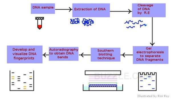 (http://www.buzzle.com/images/diagrams/dna-fingerprinting-process.jpg)