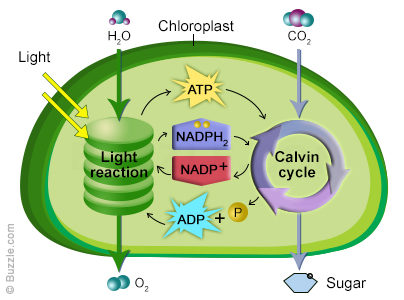 (http://www.buzzle.com/images/diagrams/chloroplast-function-simplified.jpg)