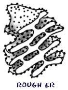 Smooth Endoplasmic Reticulum (http://www.biology4kids.com/files/art/cell_er2.jpg)