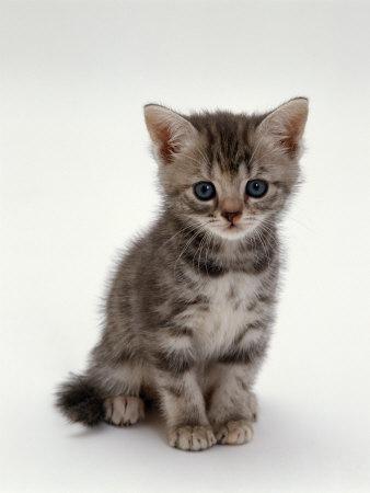 (http://cache2.allpostersimages.com/p/LRG/21/2144/SHBCD00Z/posters/burton-jane-domestic-cat-7-weeks-silver-tortoiseshell-kitten.jpg)