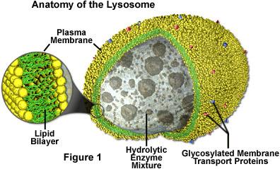 (http://www.marefa.org/images/4/43/Lysosomes.jpg)
