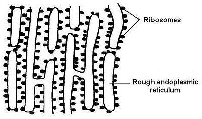 (http://upload.wikimedia.org/wikipedia/commons/thumb/b/b4/Rough_endoplasmic_reticulum.JPG/400px-Rough_endoplasmic_reticulum.JPG)