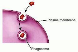 (http://img.tfd.com/dorland/thumbs/phagocytosis.jpg)