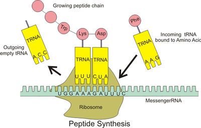(http://upload.wikimedia.org/wikipedia/commons/thumb/0/0f/Peptide_syn.png/400px-Peptide_syn.png)