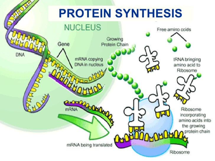 (http://image.slidesharecdn.com/protein-synthesis-1211978288012505-9/95/protein-synthesis-1-728.jpg?cb=1211952941)